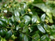 Buxus Sempervirens, Plant Identification, Plant Growth, Blooming Flowers, Good To Know, Shrubs, Plant Leaves, Cancer, Landscape