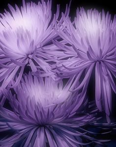 Lavender Mums.. Would look great in front yard flower beds.. Already lots of purple flowers there!!!