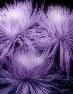 wasbella102:  Lavender Mums