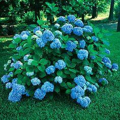 http://www.google.com/imgres?hl=en=firefox-a=org.mozilla:en-US:official=1366=639=isch=vIgMTYNixDT2kM:=http://parkseedjournal.com/2009/06/hydrangea-nikko-blue-bright-color-for-shade.html=LODKYFA8vhQJqM=http://gardenblog.typepad.com/.a/6a00d8341c0d5753ef01156fca85a8970c-800wi=275=275=F5dmT_bWKIHWgQfx6PWZAg=1