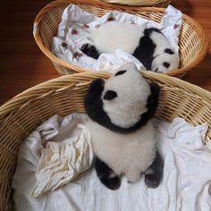 Baby pandas!!