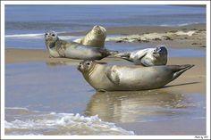 Zeehonden op het Groene strand van  Terschelling