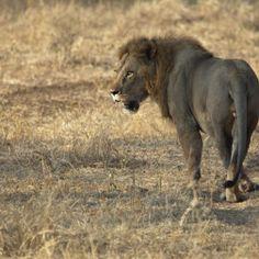 male-lion-tarangire