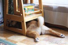 よくふてくされる | うちの北海道犬きなこちゃん
