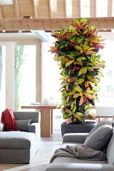 huge croton plant