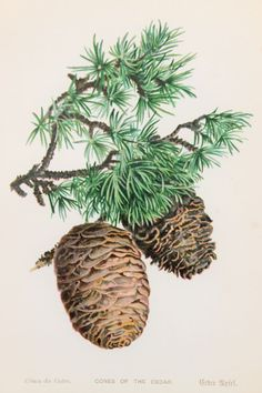 Cedar Tree Cones Fir or Pine and Needles 1891 by PaperPopinjay, $5.00