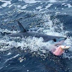 #saltlife #seahunter #teamseahunter #huk #41seahunter #mako #boatlife #gtlures #makoonthetroll #shimano #talica #garmin #costadelmar #costa #offshorefishing #offshore #offshorelife #yamaha by mjacobs1821