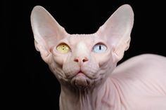 GATO SPHYNX Uma espécie de gatos sem pelos e um tanto assustadora, tem grande inteligência e curiosidade. O primeiro Sphynx, obtido por cruza, nasceu em 1966 e foi batizado de Prune