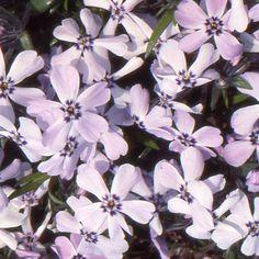 PHLOX 'Benita'  (Phlox - Phlox mousse) : Robustes et rustiques, c'est dans les sols humifères, neutres, peu acides ou peu calcaires, qu'ils se développent le mieux. Ils acceptent bien une période de sécheresse mais préfèrent les terres légèrement fraîches. Végétation compacte, tapissante et même couvre-sol.  Fleurs mauves.