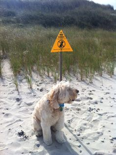 """Wheaten Terrier ~ """" what RULES""""?"""