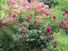 Rosa Charles de Mills & Rosa Mozart