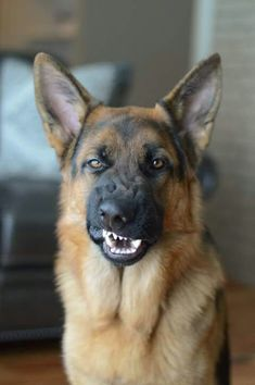 """See more HERE: https://www.sunfrog.com/Pets/LOVE-German-Shepherd-Dog-Black-Guys.html?53507  GSD~""""Don't take another step, buster!"""""""