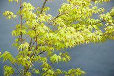 ACER palmatum Katsura at Essence of the tree