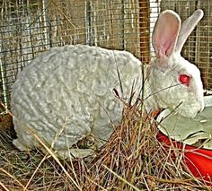Astrex Rabbit - genetic mutation from the rex, giving rabbits wavy-curly fur
