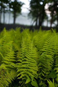 Ferns, Ferns, We Love Ferns, These are Some of My Most Favorite