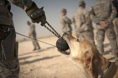 Pier, a military working dog, plays with his handler, Staff Sgt. Marque Daniels. Military working dogs deploy to the AOR for six months at a time. In that time, they work with a handler to provide base defense. Another kind of hero...