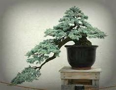 Kengai Cascade style Pine Bonsai. Needle color is beautiful.