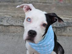 SUPER URGENT!!!! TO BE DESTROYED 7/27/14 Brooklyn Center -P  My name is LOCKS. My Animal ID # is A1006518. I am a male black and white am pit bull ter mix. The shelter thinks I am about 8 MONTHS old.  I came in the shelter as a STRAY on 07/13/2014 from NY 11226, owner surrender reason stated was STRAY. https://www.facebook.com/Urgentdeathrowdogs/photos/a.617942388218644.1073741870.152876678058553/837072506305630/?type=3&theater