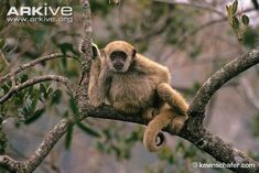 The Muriqui, or woolly spider monkey, is the largest New World primate. It inhabits subtropical, tropical and moist lowland rainforest in Brazil's Atlantic Forest Region.