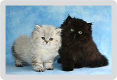 Tea Cup Persian Kittens for sale