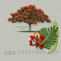 O'Brien Tree Art Royal Poinciana Delonix regia Delonix Regia, Tree Illustration, Botanical Illustration, Flame Tree, Tree Identification, Flamboyant, Landscape Plans, Watercolor Artists, Arte Floral