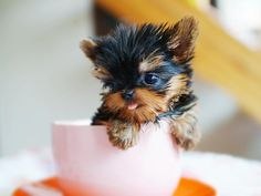 "A real ""teacup"" Yorkie, in a teacup... precious!"