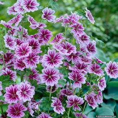 Mallow Zebrina is a magnificent plant with spires of bi-colored flowers. Blooms all summer and fall for great color. (Malva sylvestris)
