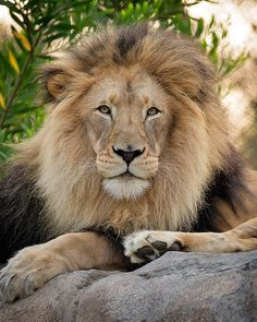 ~~M'bari ~ lion portrait by day1953~~