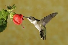 This hummer is feeding from a Flowering Maple (aka: Chinese Bellflower or Chinese Lantern). I have one planted in my back yard by my patio, and the hummers love to visit! - Ali C.