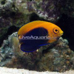 Flameback Angelfish (African) (Centropyge acanthops)