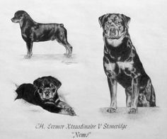 Nemo the #Rottweiler sketch. A portrait done of a #show #dog as a puppy & being shown. http://www.gensart.net