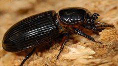 horned passalus - Odontotaenius disjunctus (Illiger)
