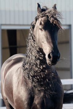 horseheaven:    Marco by Anna Ryslinge -http://www.flickr.com/photos/anna-ryslinge/  http://www.blacksterlingfriesians.com/