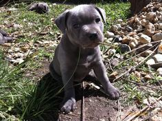 Pure Bred Blue English Staffordshire Staffy Pup.