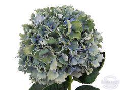 """Cut hydrangea flower """"Spike"""" (Blue, Green)"""