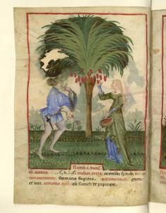 Nouvelle acquisition latine 1673, fol. 17v, Récolte des dattes mûres. Tacuinum sanitatis, Milano or Pavie (Italy), 1390-1400.
