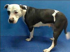SAFE --- URGENT - Brooklyn Center   ALICE - A0985935   FEMALE, WHITE / BLACK, PIT BULL MIX, 2 yrs  STRAY - STRAY WAIT, NO HOLD Reason STRAY  Intake condition NONE Intake Date 11/25/2013, From NY 11414, DueOut Date 11/28/2013 https://www.facebook.com/photo.php?fbid=654788327906491&set=a.244675022251159.79281.239063359478992&type=1&permPage=1#!/photo.php?fbid=714763255203223&set=pb.152876678058553.-2207520000.1385570170.&type=3&theater