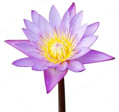Isolated Hi-Res Water Lily Please send me a message if you need the .tif file with the background removed Check out this bundle for more items: Scene Creator, The Creator, Summer Scenes, Lily, Stickers, Water, Creative, Plants, Photography