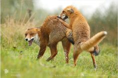 Foxes fighting. (Roeselien Raimond)