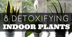 Life indoors can make you sick! Do what you can with all natural air fresheners and indoor plants! Indoor air pollutants are a real BIG problem in homes today, but you can make a lot of little changes that have a big impact. According toWalter Crinnion ofClean, Green, and Lean: Get Rid of the Toxins…