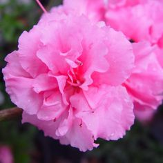 Bloom-A-Thon® Pink Double Reblooming Azalea (Rhododendron P. - Monrovia - Bloom-A-Thon® Pink Double Reblooming Azalea (Rhododendron P. Bushes And Shrubs, Garden Shrubs, Flowering Shrubs, Landscaping Plants, Landscaping Ideas, Shade Garden, Garden Plants, Sun Plants, Shade Plants