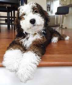 If you love soft and curly haired dogs, I'm sure you are a fan of Whoodle dogs and puppies. As we all know Whoodle dogs are a breed of doodle dog family and they also have Poodle dogs genetics. Most of the families who have kids would love to have. Animals And Pets, Baby Animals, Funny Animals, Cute Animals, Funny Cats, Cute Puppies, Cute Dogs, Dogs And Puppies, Collie Puppies