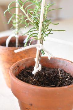Jennifer Rizzo: Home-made Rosemary topiaries...