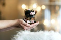 tiny teacup puppies!
