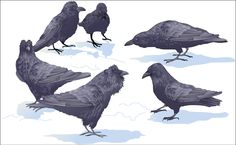 """Why Ravens Share""  Young ravens eat regularly, even when food is rare, because they direct one another to food bonanzas and fend off adults by feeding in large crowds.  Read more (JSTOR): http://www.jstor.org/discover/10.2307/29775481?uid=3739776&uid=2134&uid=2&uid=70&uid=4&uid=3739256&sid=21103681038503  July & Aug. 1995, illustration by Linda Huff.  #ravens #birds #animals"