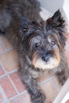 This look just like my sweet Baby Boyd Bear! Pet Dogs, Dogs And Puppies, Doggies, Cairn Terrier Puppies, Tallest Dog, Dog Ramp, Irish Terrier, West Highland Terrier, Dog Pictures