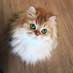 """""""Look into my eyes... Now give me some tuna."""" . . . Smoothie (a British Longhair cat)"""