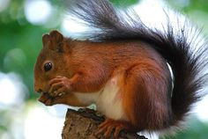 Junín red squirrel (Sciurus pyrrhinus) is a species of rodent in the family Sciuridae. It is endemic to Peru. American Red Squirrel, Eastern Gray Squirrel, Squirrel Species, Animal Species, Cute Squirrel, Baby Squirrel, What Do Squirrels Eat, Most Endangered Animals, Creature Feature