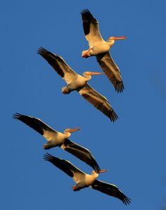 Pelicans cut the air over the Laguna de Santa Rosa, Monday Feb. 24, 2014. (Kent Porter / Press Democrat)