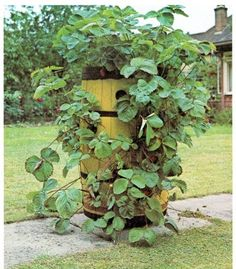 grow strawberries in a barrel.